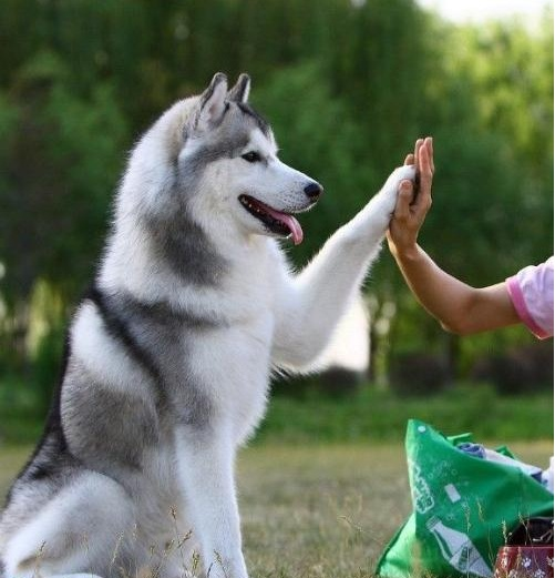 哈士奇西伯利亚雪橇犬 傲立于冰天雪地的风之子